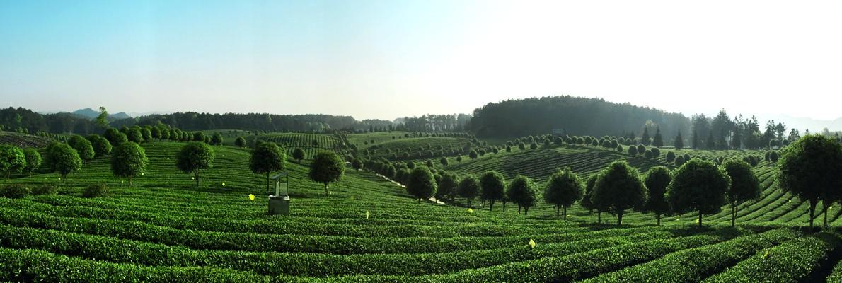 綠寶石高原綠茶
