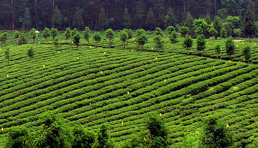 鳳岡有機茶之鄉